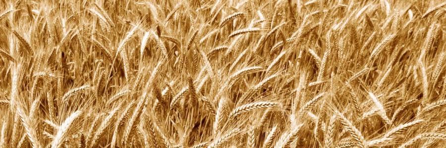 Perchè i cereali sono la prima causa di malattie croniche umane